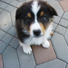 Our Australian Shepherd Puppy Taught Me How to Use School Crafts in the Decor