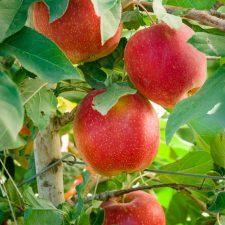 Move Over Pumpkins it's the Apple Harvest Season